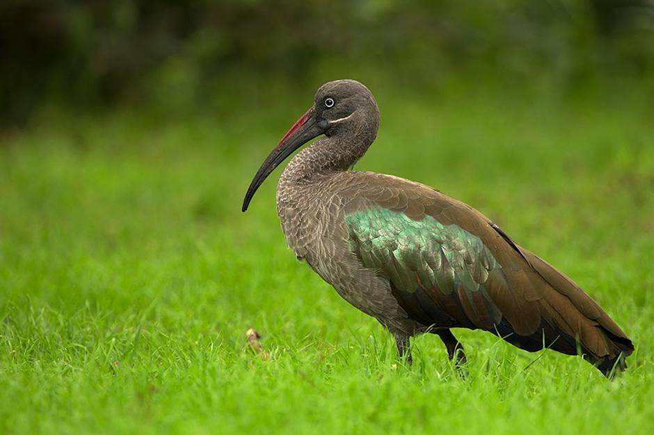 Hadeda Ibis of Uganda